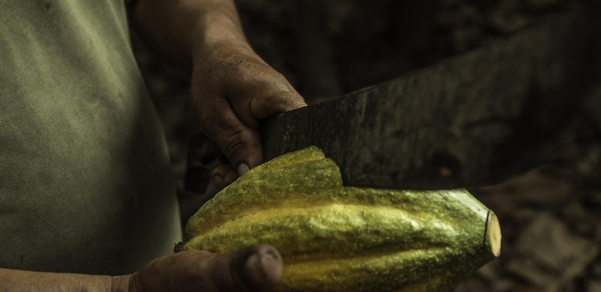 geerntete Kakaofrucht