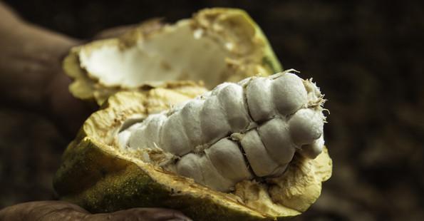 Kakaobohnen umgeben von weißem Fruchtfleisch