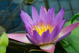 Blooming water lily symbolizes the relief, healing, and connection offered by Rachel Michaelsen, LCSW, D-CEP, in her ongoing group and individual therapy and healing offerings.