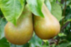 green pears 2.jpg