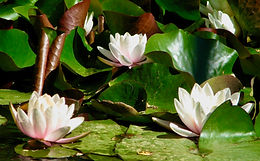 Water lilies symbolize healing groups offered by Rachel Michaelsen, LCSW, D-CEP.