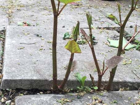 The Japanese Knotweed plant- Not just any regular plant
