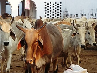 Give First Roti to Cow Every Day - Sur Shyam Gaushala, Govardhan, Mathura