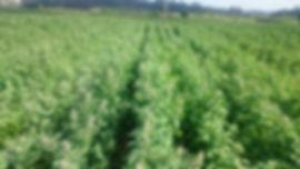 Produção da QPT Quinoa Portuguesa