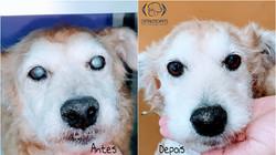 cirurgia catarata cachorro idoso