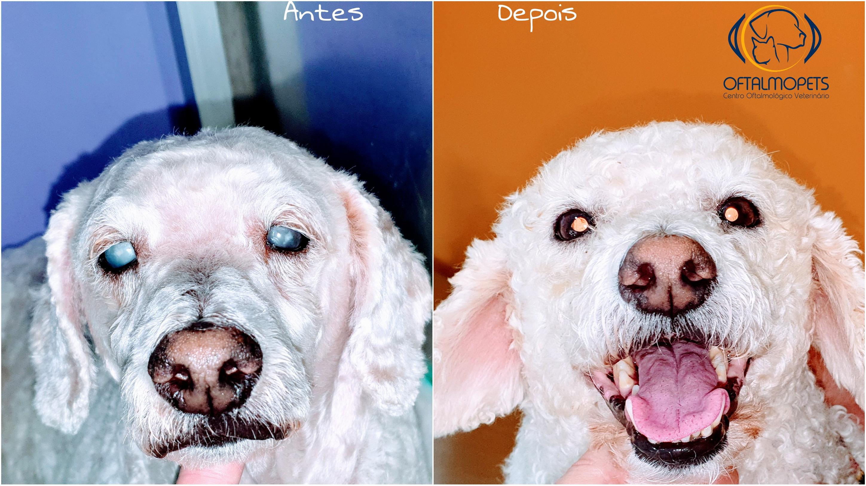 cirurgia catarata poodle
