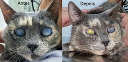 Catarata felina antes e depois