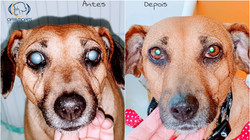 cirurgia catarata oftalmologista vet