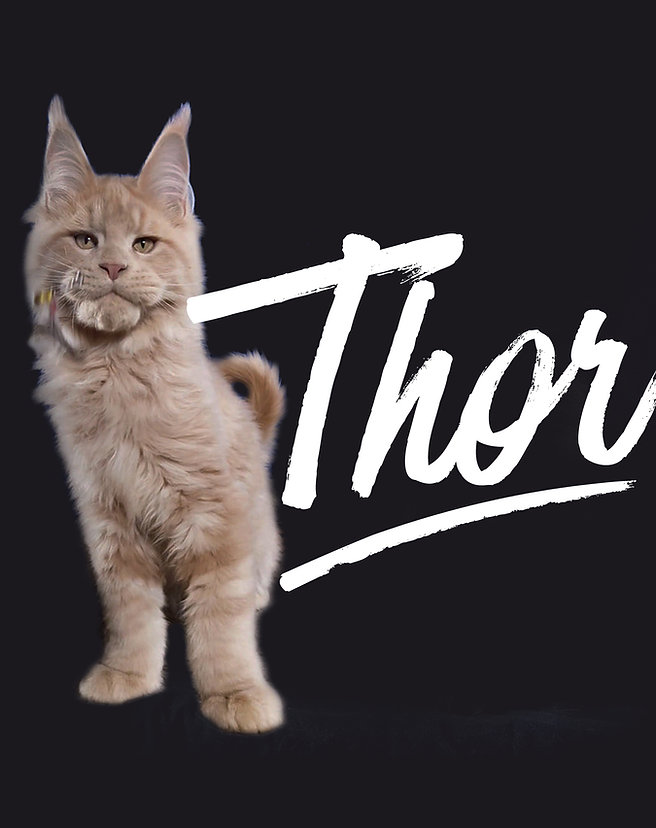 VICTOIRE MAINE COON - Thor.jpg
