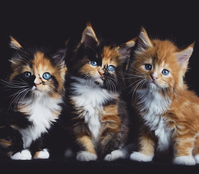 Litter C2 Kitten Colors
