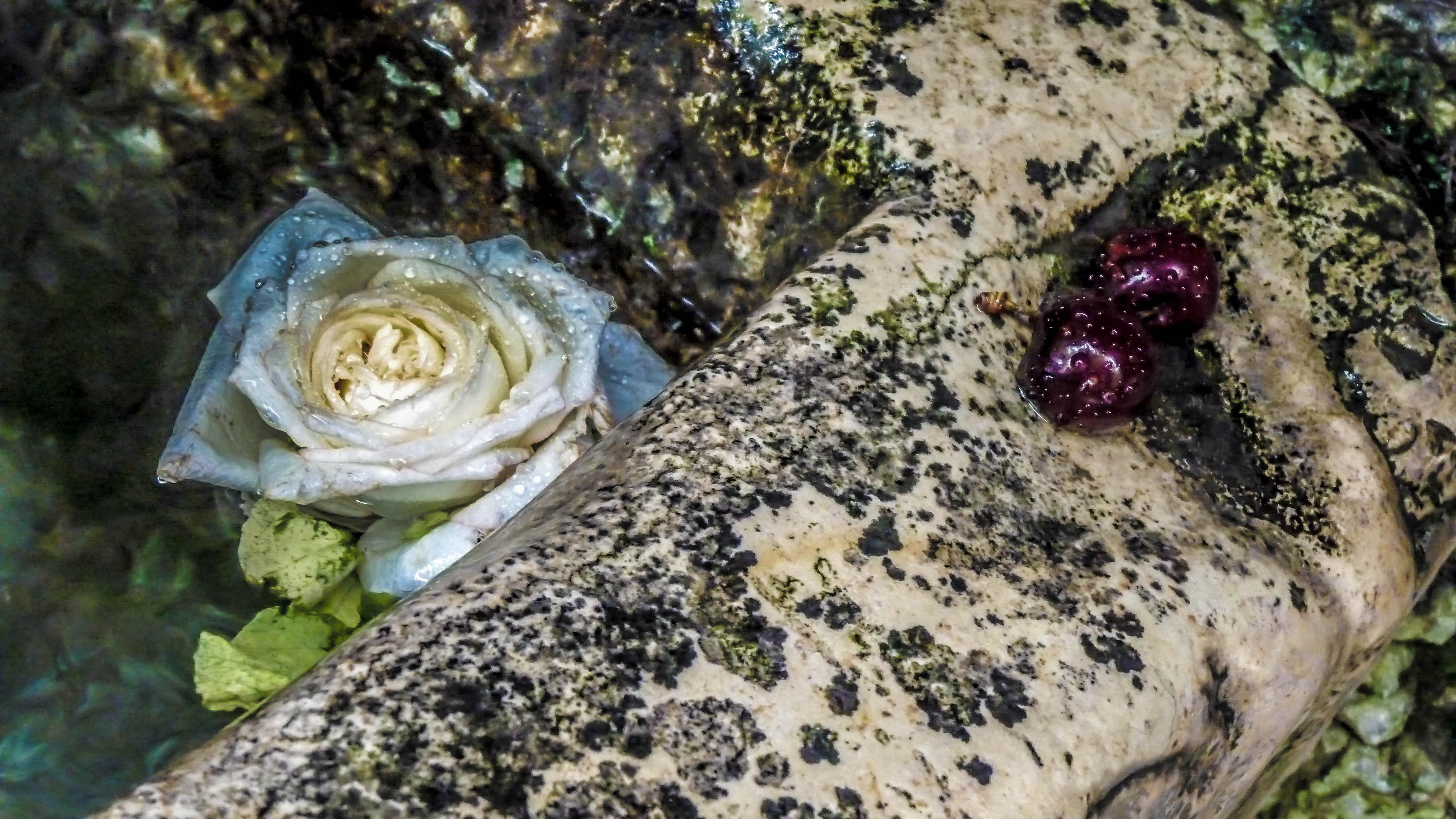 La rose et cerises, France