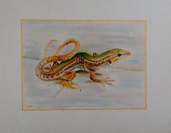 Greek Rock Lizard