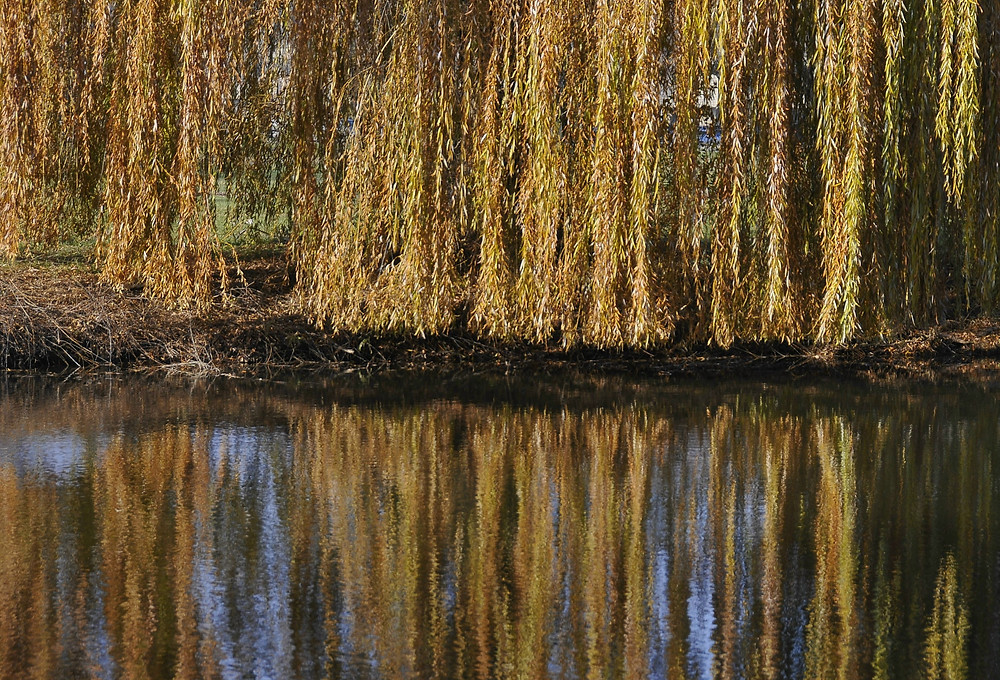 Reflections of reeds in a pond