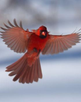 cardinal%208_edited.jpg