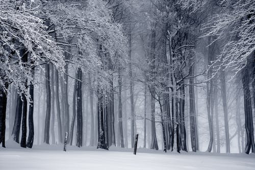 Snow on Trees in Winter Woods