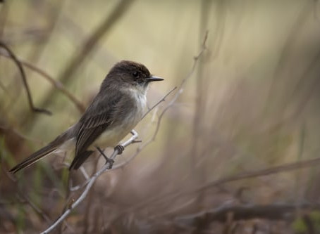 Foreign Phoebes
