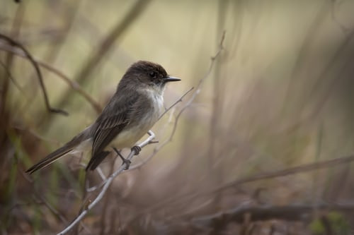 Bird - Phoebe - Backyard