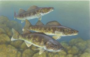 Walleye, Fresh Water, Fish