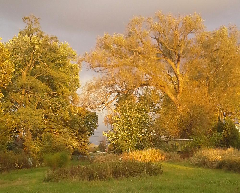 Willow, Tree, Arnie Brodie
