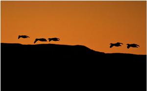 Silhouette of Birds flying at Dusk