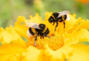 Planting Gardens to Help Native Bee Populations Recover