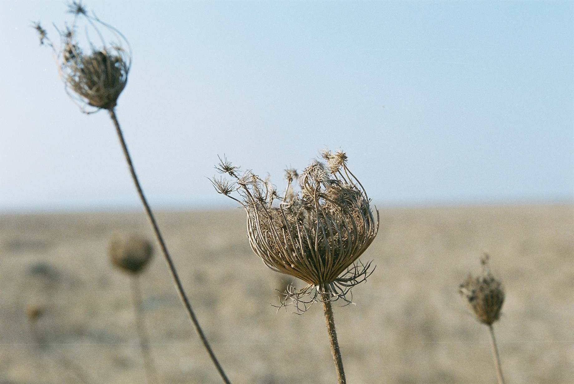 Dry Thorn Film Arielzuk