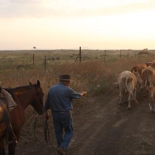 בוקר מוביל פרות ברמת הגולן אריאל צוקרמן.jpg