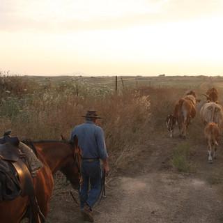 Cowboy leads cows Golan Hights Ariel Zukerman.jpg