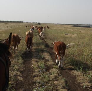 Cattle walk by Arielzuk.jpg
