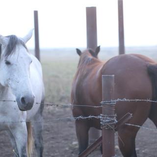 Horses at Golan Hights Arielzuk.jpg