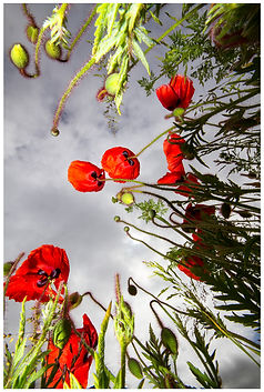 Poppies to the Sky.jpg