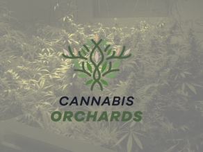 CANNABIS ORCHARDS TO DISTRIBUTE FIRST CBG AND THC-FREE HEMP VARIETY PANAKEIA IN CANADA