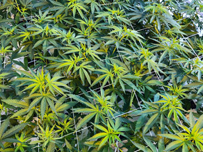 Panakeia (HURV19PAN): The first THC-free and CBG variety added to the LOAC of Health Canada