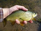 Golden Shiner bait