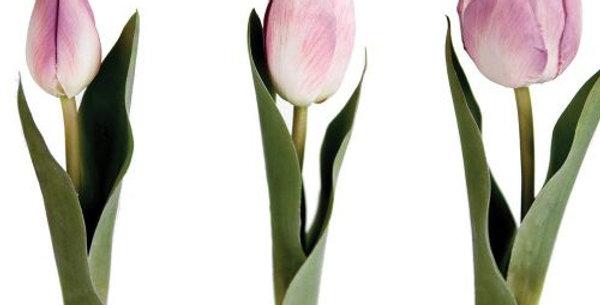 Tulip Mix Mauve