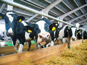 Moo-ve over alfalfa: hemp could become the top choice animal feed