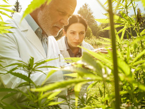 Five important takeaways from the Midwestern Hemp Database 2020 Research Report