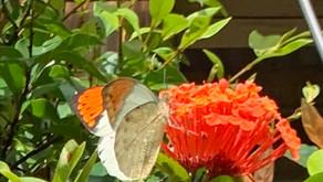 ツマベニチョウ あずまやの庭に舞う