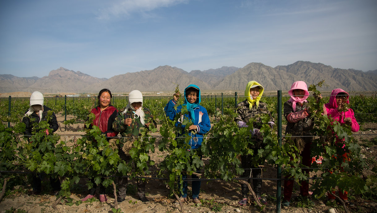 Silver Heights Vineyard's field workers tend to our vines in the shadow of Helan Mountain.