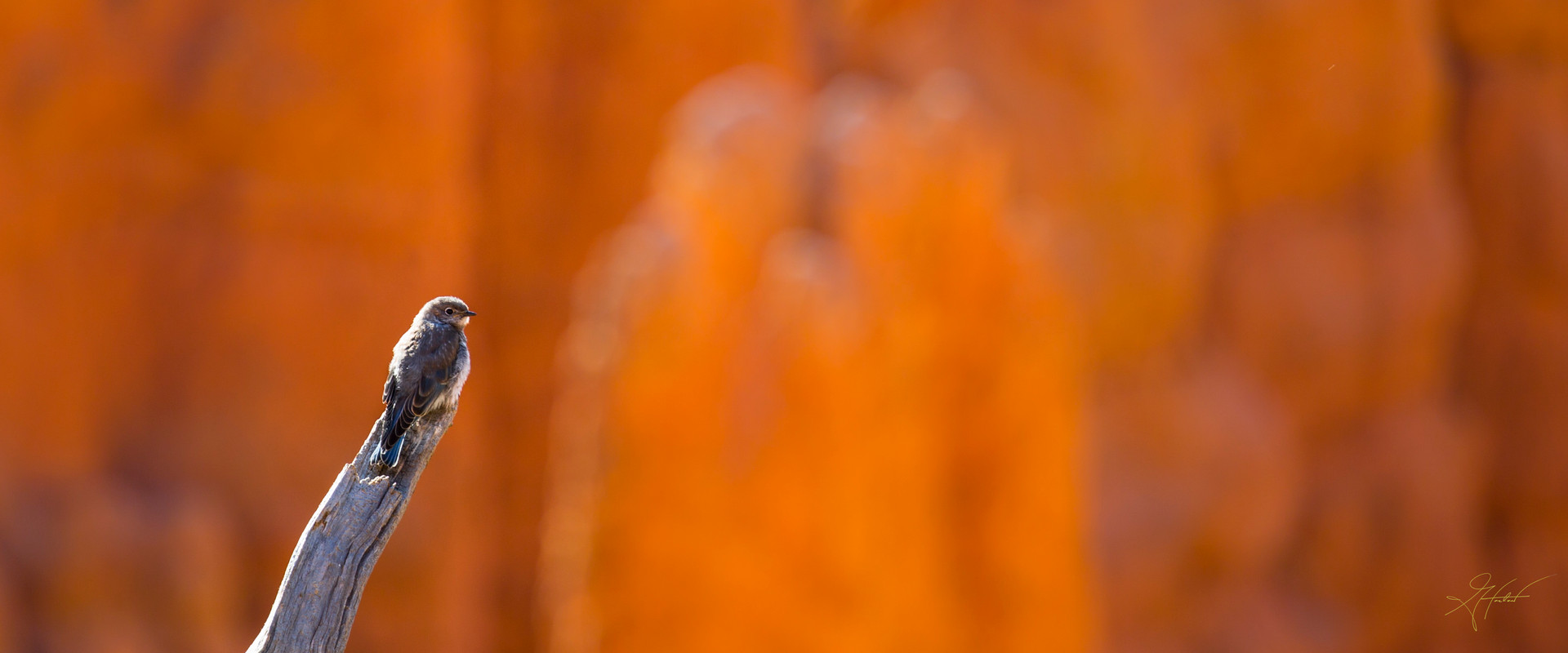 Greg Harlow Media Photography,  Bryce Canyon Cliff Swallow