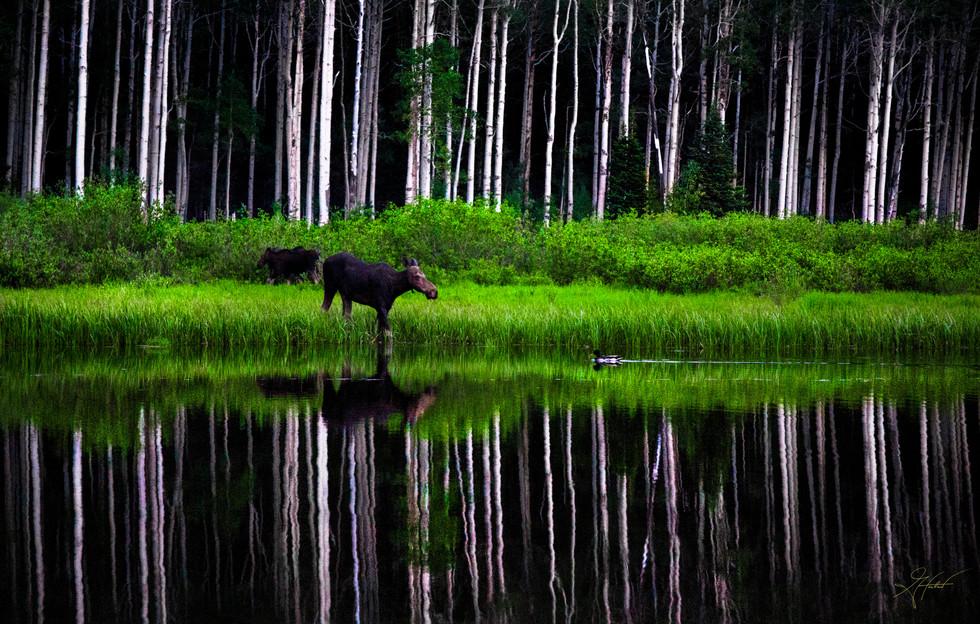 Greg Harlow Media Photography, Moose meets duck