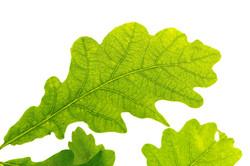oak-leaf-2011078_1920
