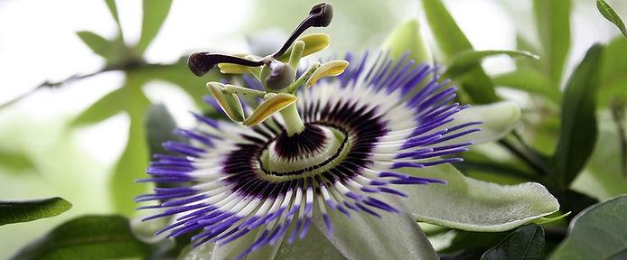 Fleur de la Passion.jpg