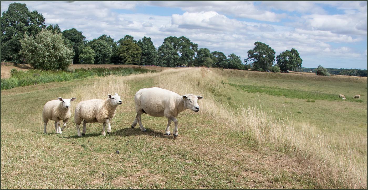 Lamb scape