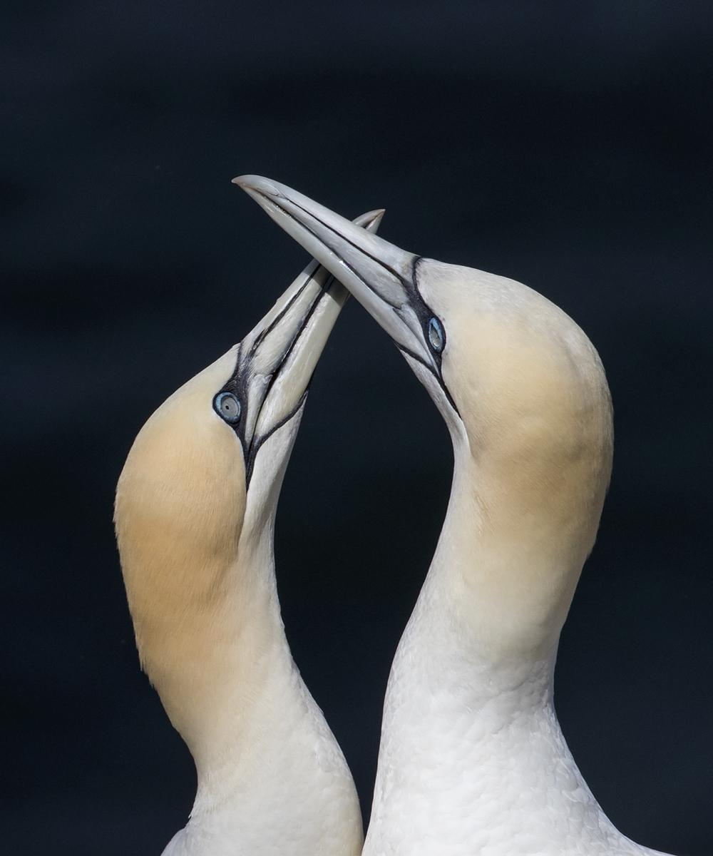 Gannet Bonding