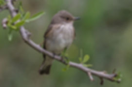 03 Spotted Flycatcher.jpg