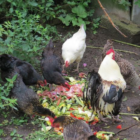 13 les poules.JPG