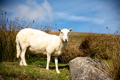 One of many sheep on the Preseli Mountains.