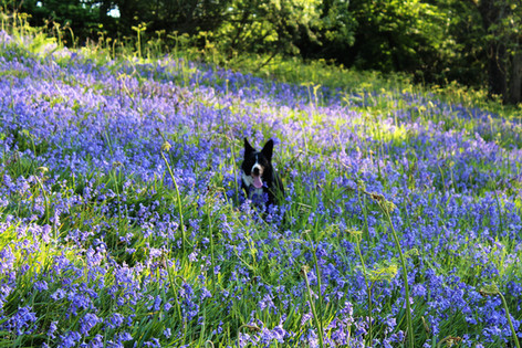 Bluebells in full bloom
