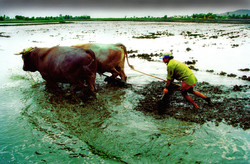 Tito plowing rice fields with oxen
